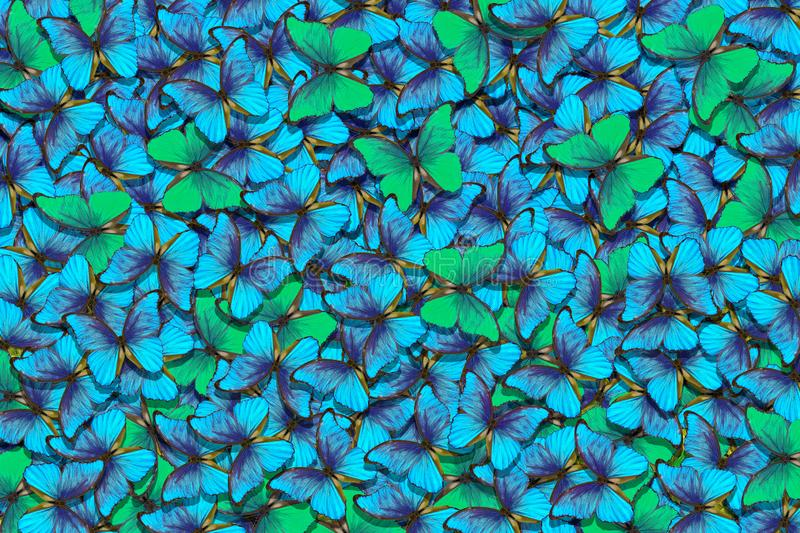 Green and blue butterflies morpho texture background. Natural pattern. Flight of butterflies abstract background. royalty free stock images
