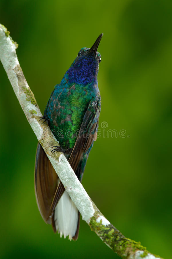 Green and Blue Hummingbird Sabrewing from Tobago sitting on the branch. Green and Blue Hummingbird Sabrewing from Tobago sitting royalty free stock photo