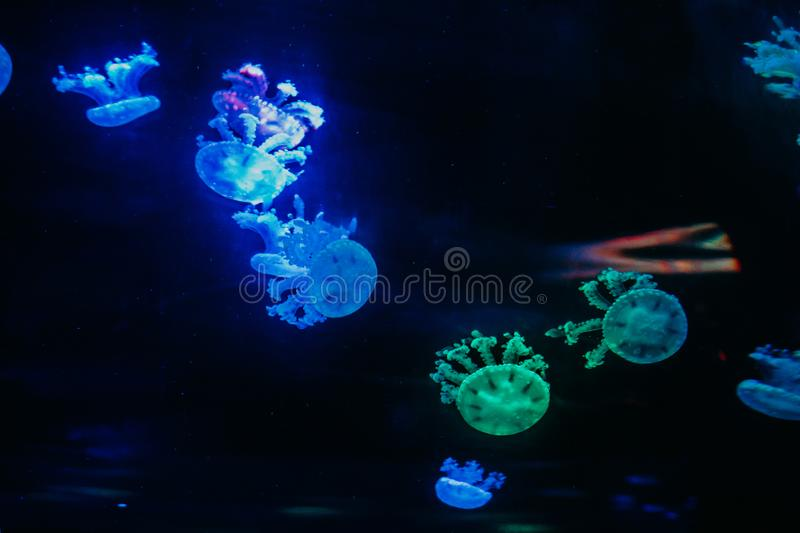 Green and Blue Jellyfishes royalty free stock image