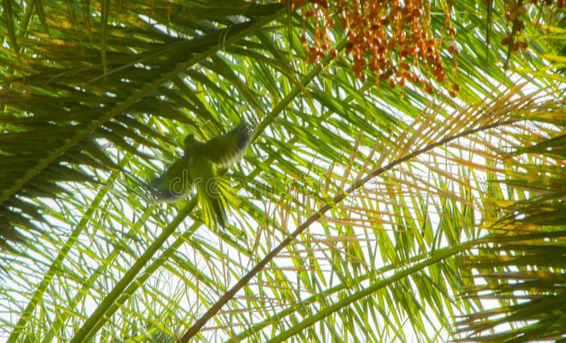 Green-blue little parrot flying front of a palm tree leaves at daytime. Green and blue color little parrot flying front of a leaves of a palm tree at daytime stock photos