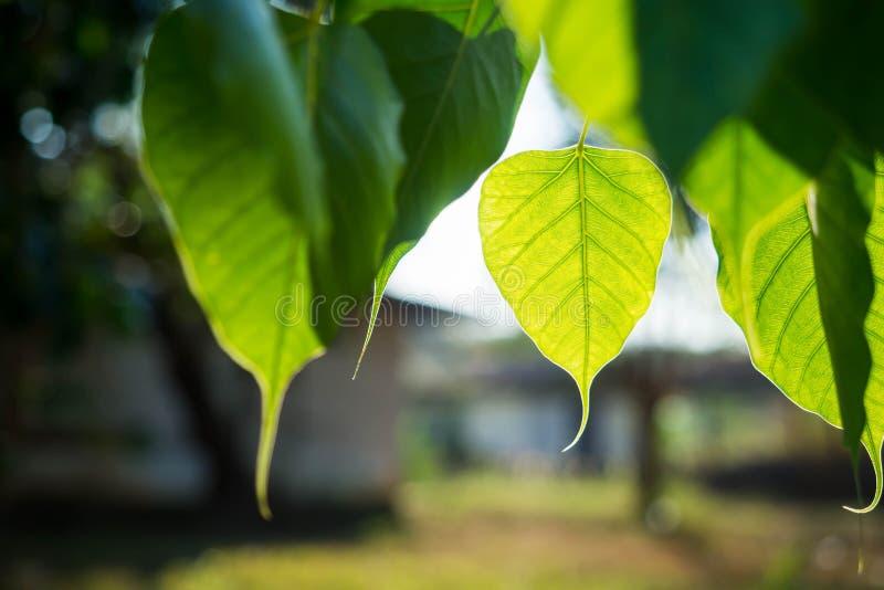 Green Bo leaf close up. Green Bo leaf close up in daylight royalty free stock image