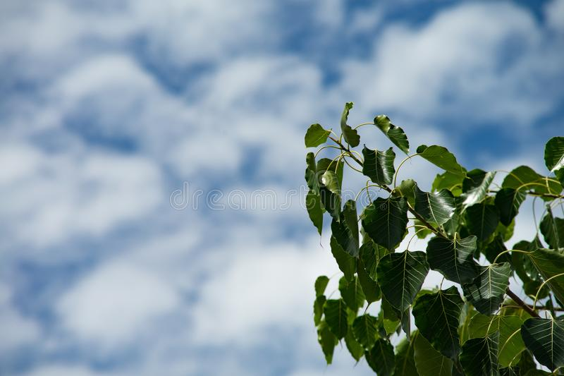 Green bo leaf. Pho leaf, bothi leaf sacred fig leaves, v-shape or heart shape with blue cloudy background royalty free stock image