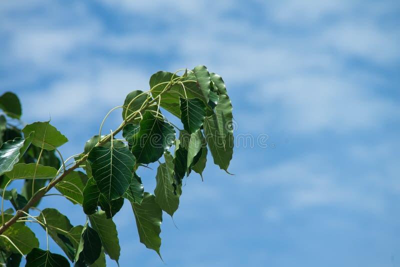 Green bo leaf. Pho leaf, bothi leaf sacred fig leaves, v-shape or heart shape with blue cloudy background royalty free stock photos