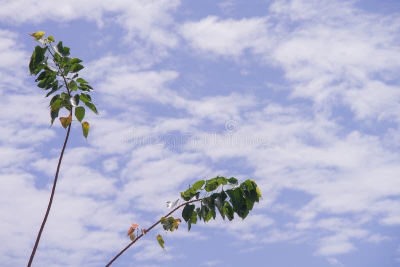 Green bo leaf. Pho leaf, bothi leaf sacred fig leaves, v-shape or heart shape with blue cloudy background royalty free stock photography