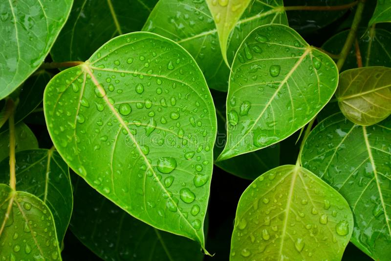 Green bo leaf after raining day. Green bo leaf after raining day - closeup stock photo