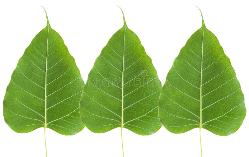 Green bo leaf. On white background stock photography