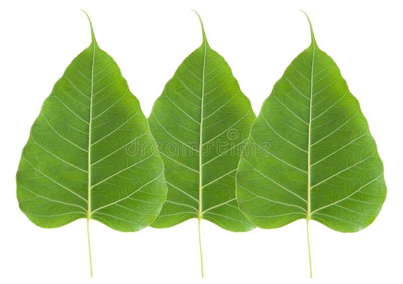 Green bo leaf. On white background stock photo