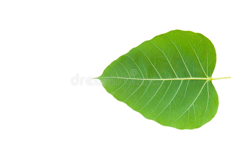 Green bo leaf. On white background stock image