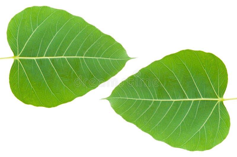 Green bo leaf. On white background stock photos