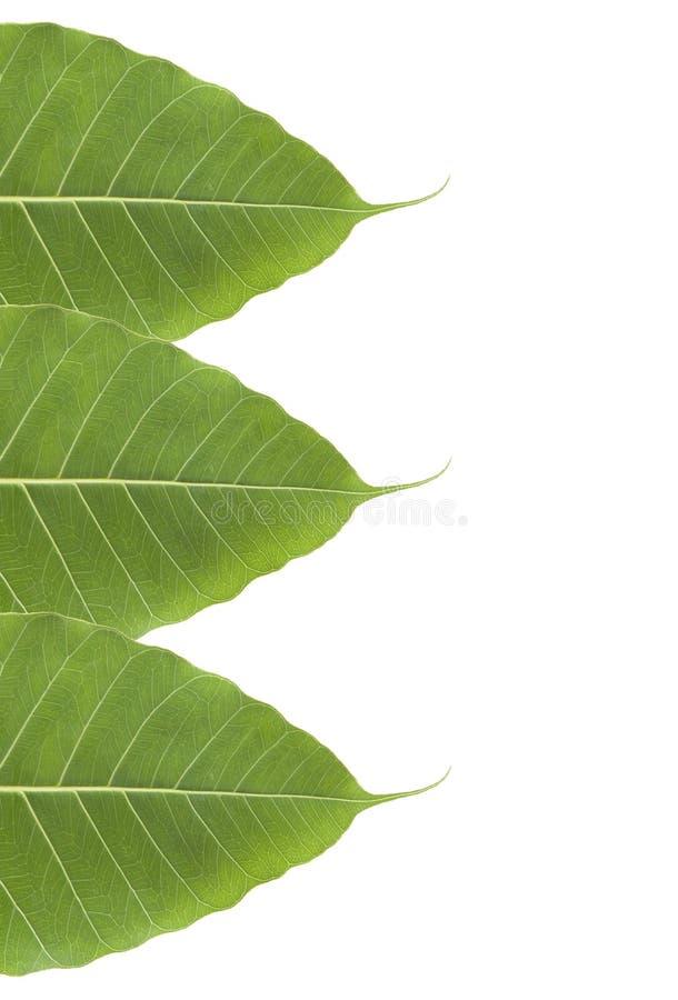 Green bo leaf. On white background royalty free stock photo