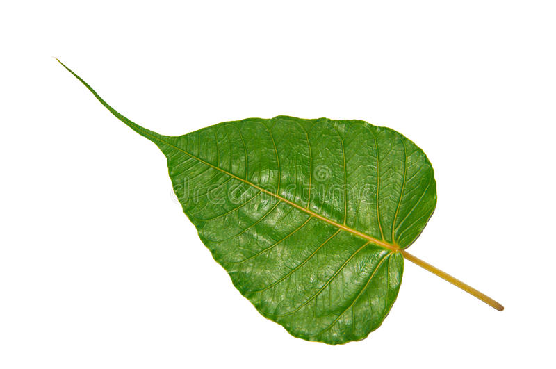 Green Bodhi Leaf. Green bodhi or Peepal leaf vein Isolated on white Background royalty free stock photo