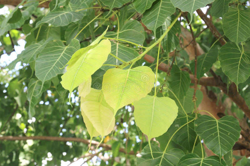 Green Bodhi leaves background also known as Pipal leaves and Bo. Leaves stock photos