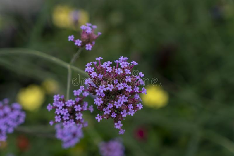 Verbena flowers. Green Bokeh background with yellow broken and purple verbena royalty free stock photo