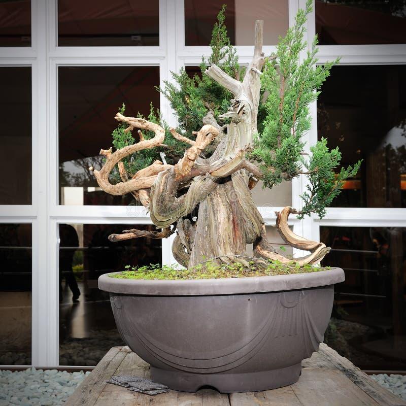 Download Green bonsai stock photo. Image of houseplant, replica - 26108622