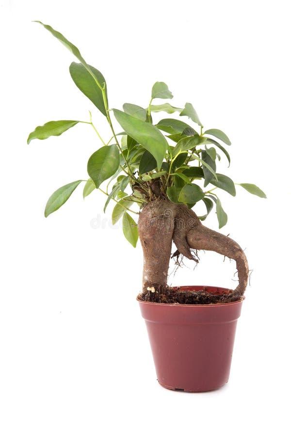 Download Green bonsai tree stock image. Image of decoration, oriental - 28753305