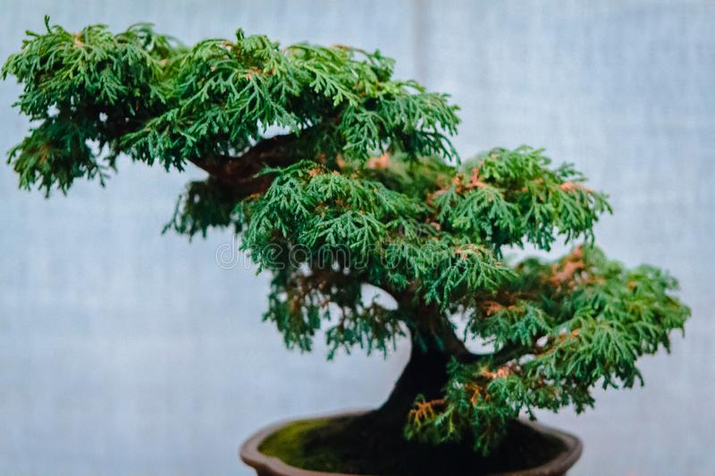 Green bonsai tree on display at a show at the Frederik Meijer Gardens in Grand Rapids Michigan. Green bonsai tree on display at a bonsai show at the Frederik royalty free stock photos