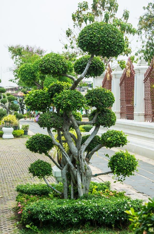 Green Bonsai Tree In Wat Arun temple stock photos