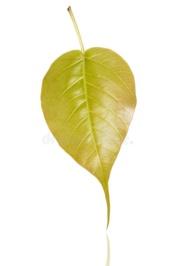 Bo leaf. Green bothi leaf isolated on white background.bo leaf royalty free stock photography