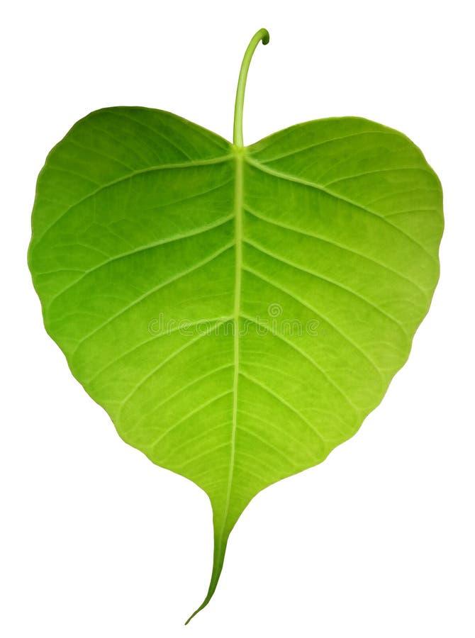 Green bothi leaf Pho leaf, bo leaf isolated on white backgroun. D royalty free stock photo