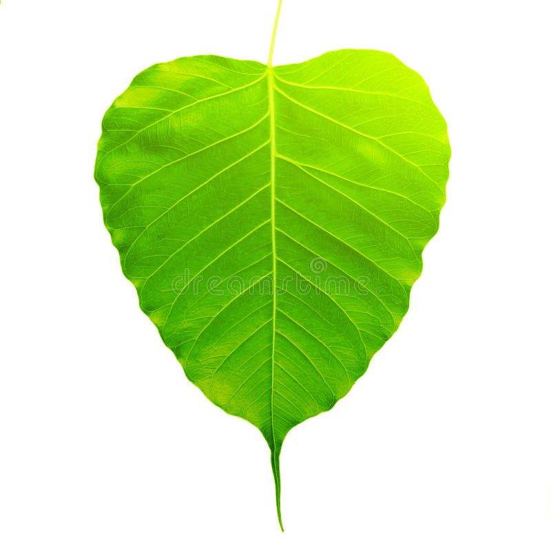 Green bothi leaf Pho leaf, bo leaf isolated on white background.  royalty free stock photography