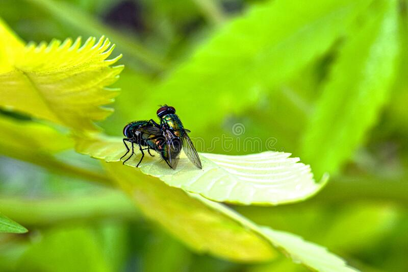 Green Bottle Flies 01 royalty free stock photography