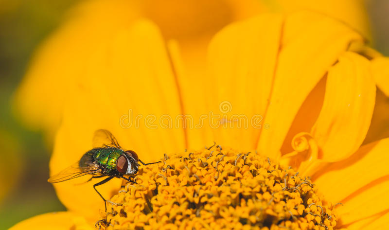 Download Green Bottle Fly On A Chrysanthemum Stock Image - Image of chrysanthum, calgary: 58238415