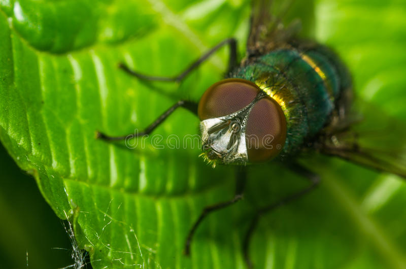 Green bottle fly close-up. A green bottle fly close-up stock photo