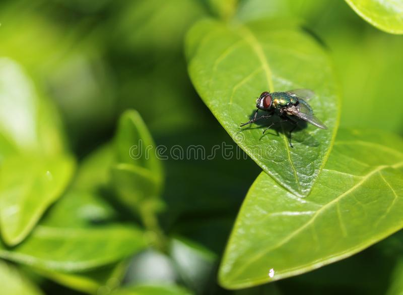 Green bottle fly on green leaf stock photos