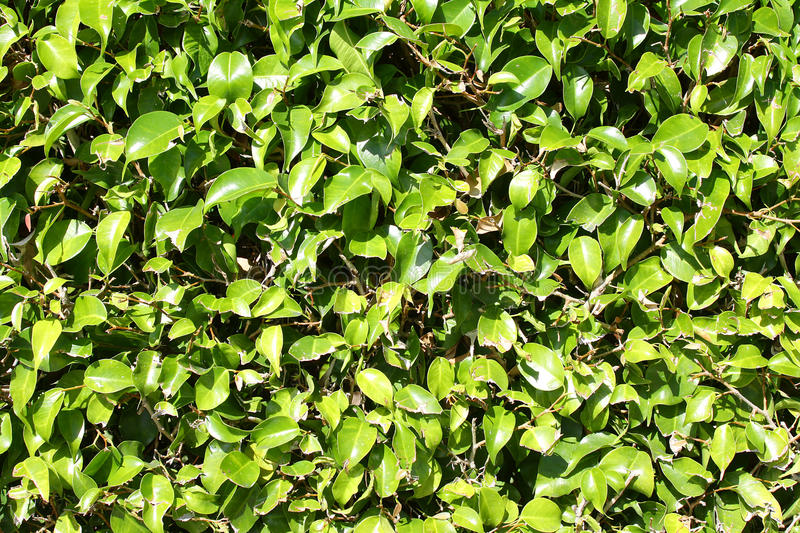 Green Boxwood Hedge Background Stock Image Image Of Greenery Boxwood 37365105