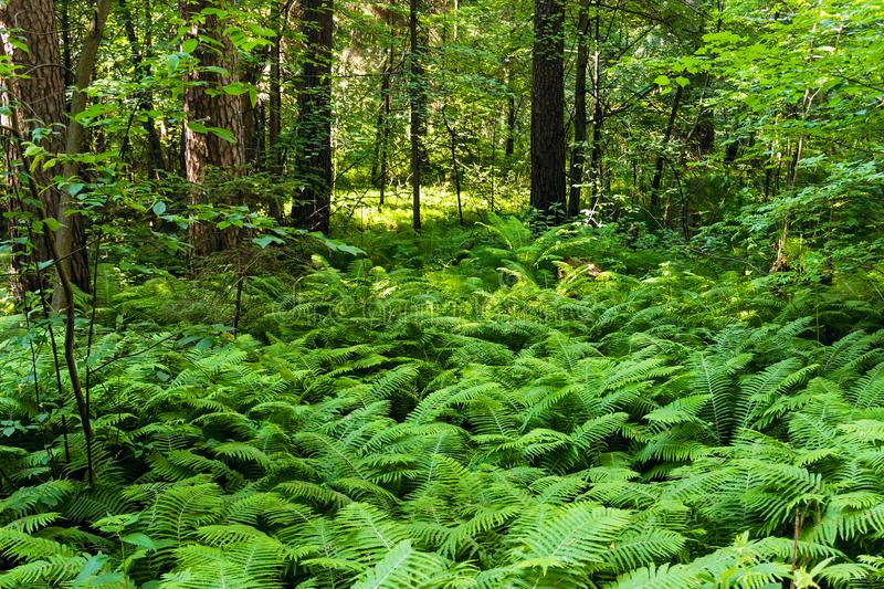 Green bracken bushes in the forest on a summer day. Dense thickets of green bracken in the forest on a summer day royalty free stock images