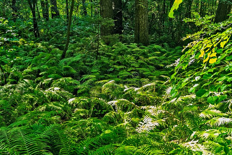 Green bracken bushes in the forest on a summer day. Dense thickets of green bracken in the forest on a summer day stock images