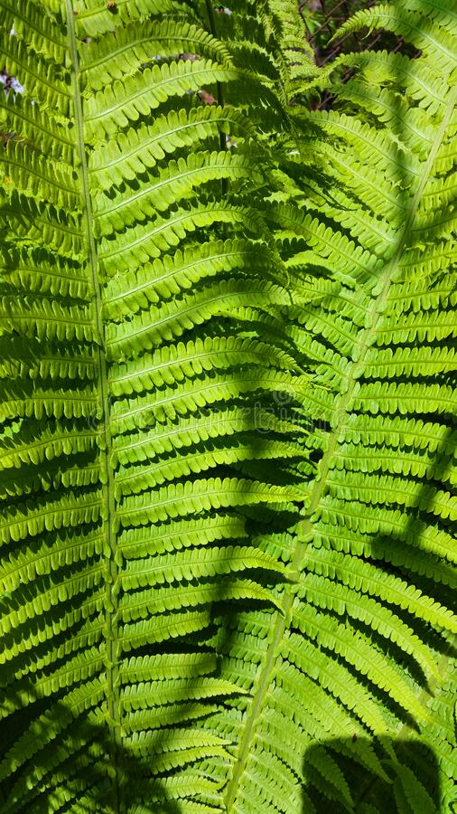 Green bracken plant background, close-up. Green fern in the forest. Pteridium aquilinum or bracken stock photos