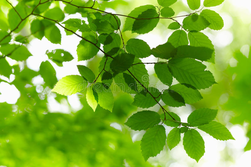 Download Green Branch. stock photo. Image of leaves, growth, leaf - 24150622