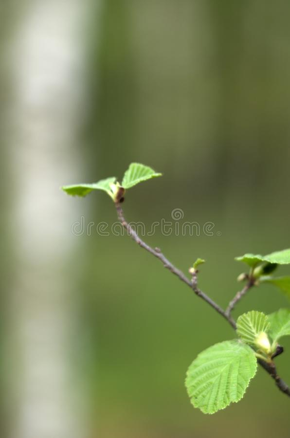 Green branch of alders. On a green background royalty free stock image