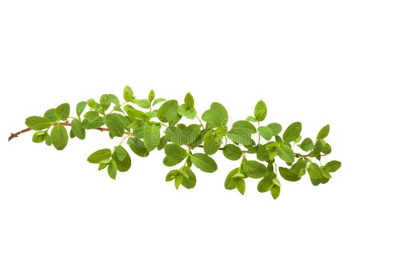 Green branch of bush royalty free stock photo
