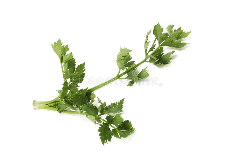 Download Green branch of a celery stock photo. Image of celery - 21021874