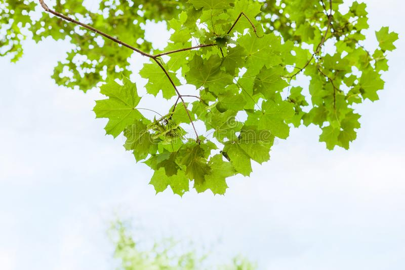 Green branch of field maple tree with blue sky royalty free stock images