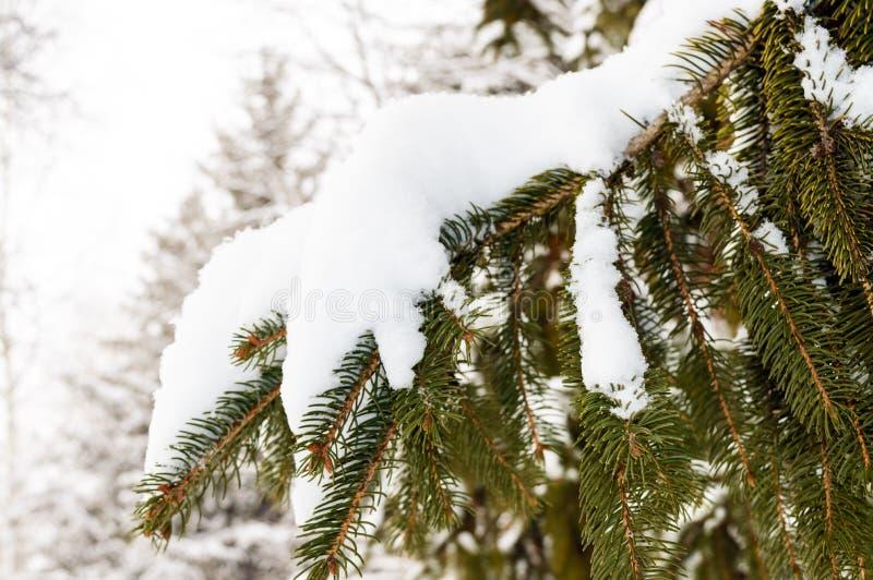 Green branch of fir under the snow cap. stock photo
