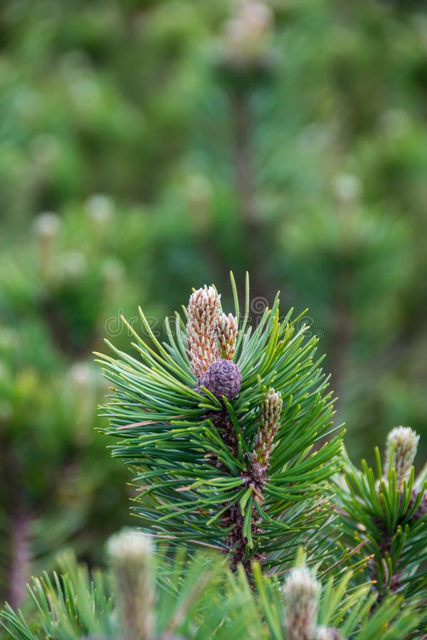 Green branch of mountain pine royalty free stock photo