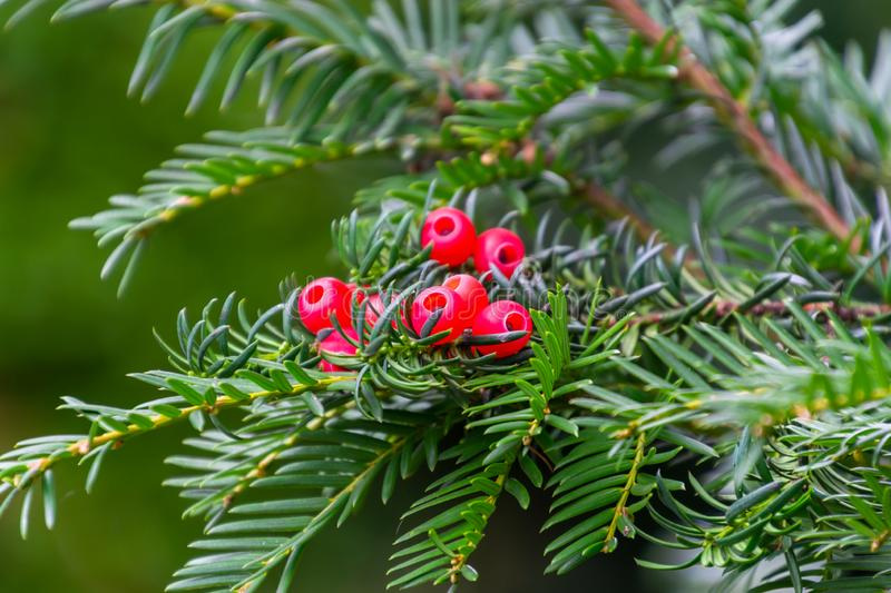 A green branch with the red berries of european yew or taxus baccata tree stock photography