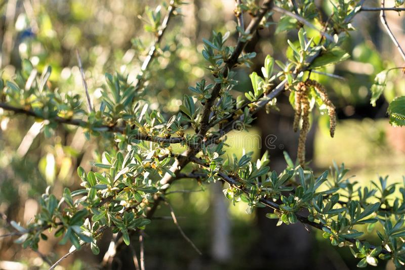 Green branch of the sea buckthorn tree on a blurred background. The old dark branch with new young leaves and small yellow flowers, prickly thorns and knots royalty free stock photos