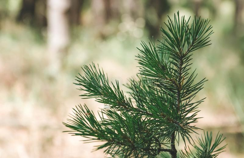 Green branch spruce, paw spruce, forest, plant stock photography