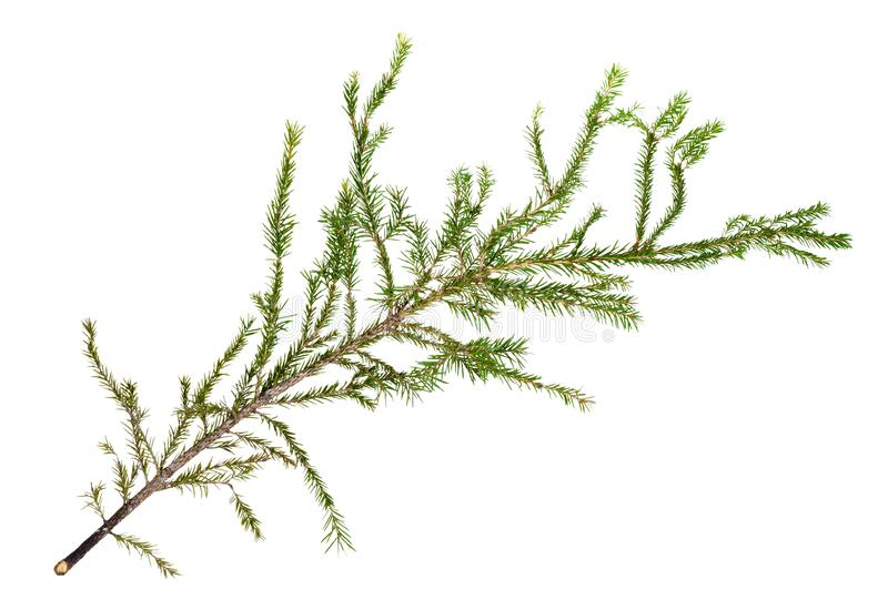 Green branch of spruce tree isolated on white royalty free stock image