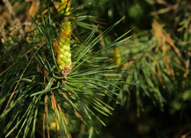 A green branch of spruce with young shoots on a blurred background. Shallow depth of field. In the category of texture, screen sa. Ver, wallpaper royalty free stock photos