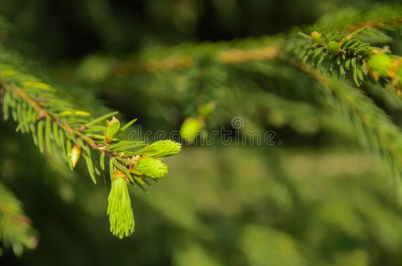 A green branch of spruce with young shoots on a blurred background. Shallow depth of field. In the category of texture, screen sa. Ver, wallpaper royalty free stock photography