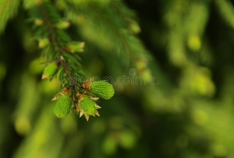 A green branch of spruce with young shoots on a blurred background. Shallow depth of field. In the category of texture, screen sa. Ver, wallpaper stock photos