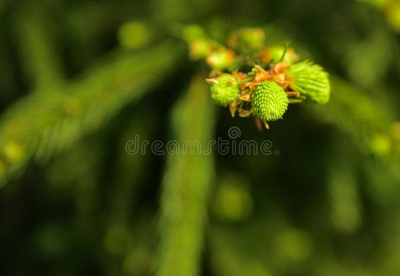 A green branch of spruce with young shoots on a blurred background. Shallow depth of field. In the category of texture, screen sa. Ver, wallpaper stock photography