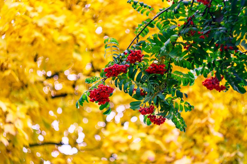 Green branches with bunches of red rowan Sorbus aucuparia, tree mountain ash on the background of golden autumn leaves. Autumn royalty free stock photography