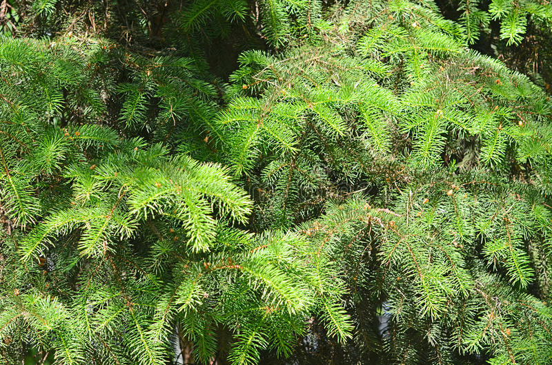 Green branches of fir-tree close up stock image