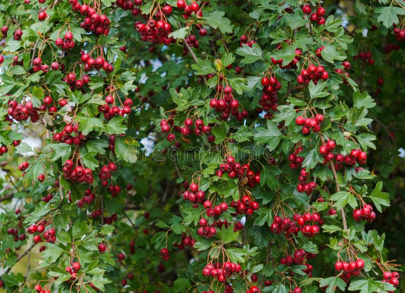 Green branches of hawthorn strewn with red berries.  stock image